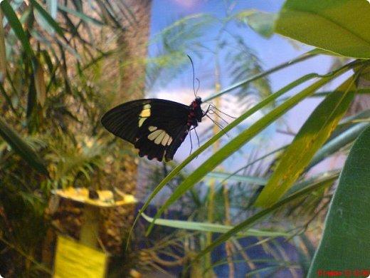 Есть в Санкт-Петербурге сады Миндо – маленькие островки счастья, где рождаются и живут тропические бабочки. Мне посчастливилось бывать несколько раз в этих экзотических местах. Представляю наиболее удачные фотографии виденных бабочек. фото 17