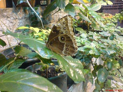 Есть в Санкт-Петербурге сады Миндо – маленькие островки счастья, где рождаются и живут тропические бабочки. Мне посчастливилось бывать несколько раз в этих экзотических местах. Представляю наиболее удачные фотографии виденных бабочек. фото 2