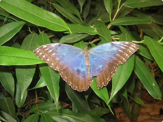Есть в Санкт-Петербурге сады Миндо – маленькие островки счастья, где рождаются и живут тропические бабочки. Мне посчастливилось бывать несколько раз в этих экзотических местах. Представляю наиболее удачные фотографии виденных бабочек. фото 13