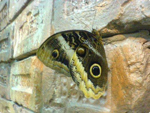 Есть в Санкт-Петербурге сады Миндо – маленькие островки счастья, где рождаются и живут тропические бабочки. Мне посчастливилось бывать несколько раз в этих экзотических местах. Представляю наиболее удачные фотографии виденных бабочек. фото 3