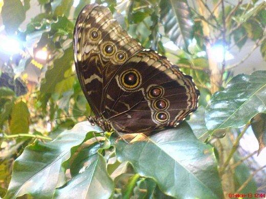 Есть в Санкт-Петербурге сады Миндо – маленькие островки счастья, где рождаются и живут тропические бабочки. Мне посчастливилось бывать несколько раз в этих экзотических местах. Представляю наиболее удачные фотографии виденных бабочек. фото 4