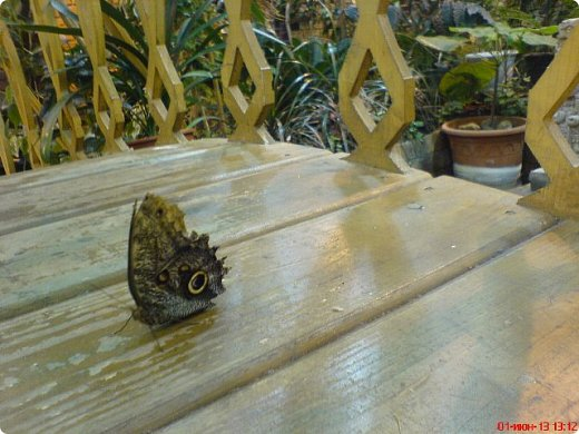 Есть в Санкт-Петербурге сады Миндо – маленькие островки счастья, где рождаются и живут тропические бабочки. Мне посчастливилось бывать несколько раз в этих экзотических местах. Представляю наиболее удачные фотографии виденных бабочек. фото 5