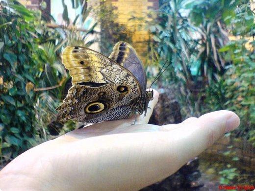 Есть в Санкт-Петербурге сады Миндо – маленькие островки счастья, где рождаются и живут тропические бабочки. Мне посчастливилось бывать несколько раз в этих экзотических местах. Представляю наиболее удачные фотографии виденных бабочек. фото 6