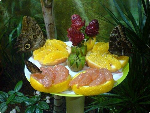 Есть в Санкт-Петербурге сады Миндо – маленькие островки счастья, где рождаются и живут тропические бабочки. Мне посчастливилось бывать несколько раз в этих экзотических местах. Представляю наиболее удачные фотографии виденных бабочек. фото 9