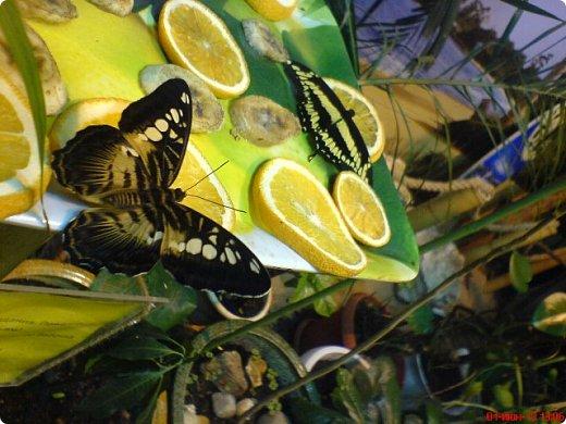 Есть в Санкт-Петербурге сады Миндо – маленькие островки счастья, где рождаются и живут тропические бабочки. Мне посчастливилось бывать несколько раз в этих экзотических местах. Представляю наиболее удачные фотографии виденных бабочек. фото 15