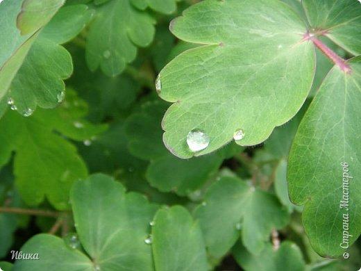 Весна в этом году у нас очень дождливая. Очень. Буйство цветения пришлось на самые дождливые дни. Ну что же, тогда у нас будет вот такое фото цветущей сирени в каплях дождя! фото 10