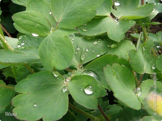 Весна в этом году у нас очень дождливая. Очень. Буйство цветения пришлось на самые дождливые дни. Ну что же, тогда у нас будет вот такое фото цветущей сирени в каплях дождя! фото 8