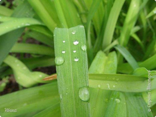 Весна в этом году у нас очень дождливая. Очень. Буйство цветения пришлось на самые дождливые дни. Ну что же, тогда у нас будет вот такое фото цветущей сирени в каплях дождя! фото 6