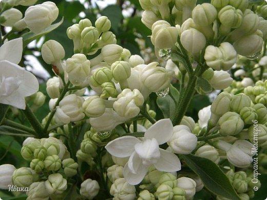 Весна в этом году у нас очень дождливая. Очень. Буйство цветения пришлось на самые дождливые дни. Ну что же, тогда у нас будет вот такое фото цветущей сирени в каплях дождя! фото 1