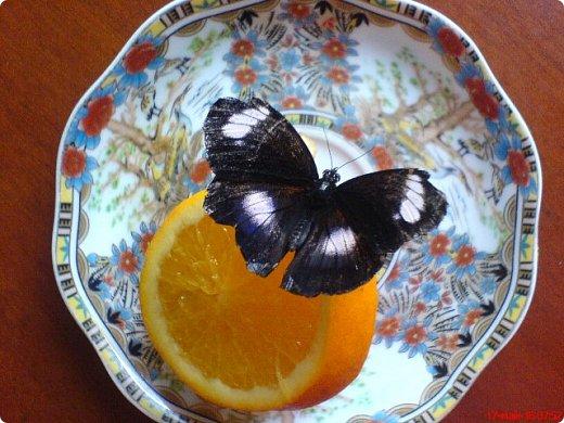 Продолжаю свой репортаж о бабочках из сада Миндо.   Бабочка Калиго - первая красавица, прибывшая в дом из сада (фото 2011года).   На кухонном столе корзина с живыми цветами и комнатный цветок - идеальные условия для домашней бабочки. фото 2
