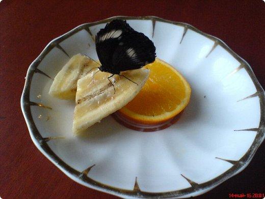 Продолжаю свой репортаж о бабочках из сада Миндо.   Бабочка Калиго - первая красавица, прибывшая в дом из сада (фото 2011года).   На кухонном столе корзина с живыми цветами и комнатный цветок - идеальные условия для домашней бабочки. фото 12