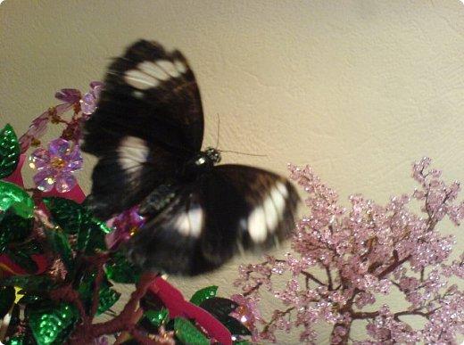 Продолжаю свой репортаж о бабочках из сада Миндо.   Бабочка Калиго - первая красавица, прибывшая в дом из сада (фото 2011года).   На кухонном столе корзина с живыми цветами и комнатный цветок - идеальные условия для домашней бабочки. фото 14