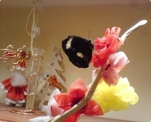 Продолжаю свой репортаж о бабочках из сада Миндо.   Бабочка Калиго - первая красавица, прибывшая в дом из сада (фото 2011года).   На кухонном столе корзина с живыми цветами и комнатный цветок - идеальные условия для домашней бабочки. фото 15