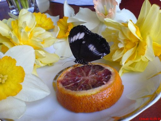 Продолжаю свой репортаж о бабочках из сада Миндо.   Бабочка Калиго - первая красавица, прибывшая в дом из сада (фото 2011года).   На кухонном столе корзина с живыми цветами и комнатный цветок - идеальные условия для домашней бабочки. фото 16
