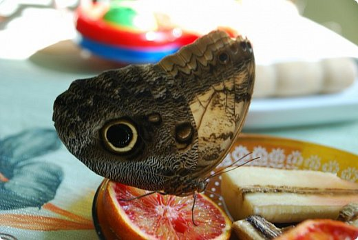 Продолжаю свой репортаж о бабочках из сада Миндо.   Бабочка Калиго - первая красавица, прибывшая в дом из сада (фото 2011года).   На кухонном столе корзина с живыми цветами и комнатный цветок - идеальные условия для домашней бабочки. фото 17