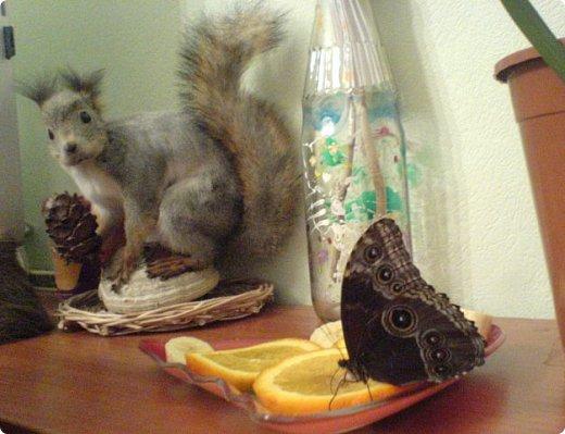 Продолжаю свой репортаж о бабочках из сада Миндо.   Бабочка Калиго - первая красавица, прибывшая в дом из сада (фото 2011года).   На кухонном столе корзина с живыми цветами и комнатный цветок - идеальные условия для домашней бабочки. фото 18