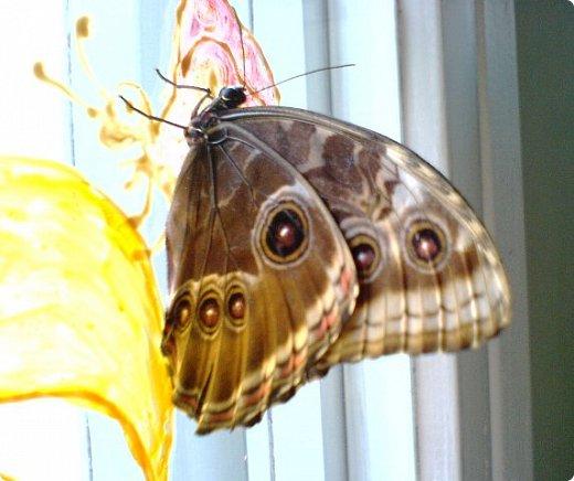 Продолжаю свой репортаж о бабочках из сада Миндо.   Бабочка Калиго - первая красавица, прибывшая в дом из сада (фото 2011года).   На кухонном столе корзина с живыми цветами и комнатный цветок - идеальные условия для домашней бабочки. фото 20
