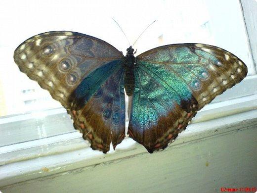 Продолжаю свой репортаж о бабочках из сада Миндо.   Бабочка Калиго - первая красавица, прибывшая в дом из сада (фото 2011года).   На кухонном столе корзина с живыми цветами и комнатный цветок - идеальные условия для домашней бабочки. фото 21