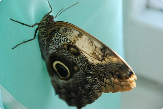 Продолжаю свой репортаж о бабочках из сада Миндо.   Бабочка Калиго - первая красавица, прибывшая в дом из сада (фото 2011года).   На кухонном столе корзина с живыми цветами и комнатный цветок - идеальные условия для домашней бабочки. фото 22