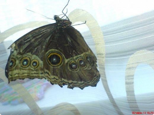 Продолжаю свой репортаж о бабочках из сада Миндо.   Бабочка Калиго - первая красавица, прибывшая в дом из сада (фото 2011года).   На кухонном столе корзина с живыми цветами и комнатный цветок - идеальные условия для домашней бабочки. фото 23