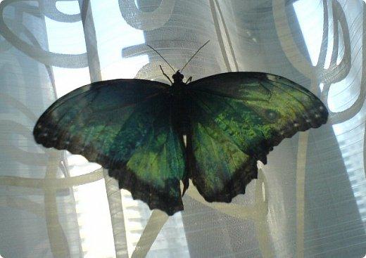 Продолжаю свой репортаж о бабочках из сада Миндо.   Бабочка Калиго - первая красавица, прибывшая в дом из сада (фото 2011года).   На кухонном столе корзина с живыми цветами и комнатный цветок - идеальные условия для домашней бабочки. фото 24
