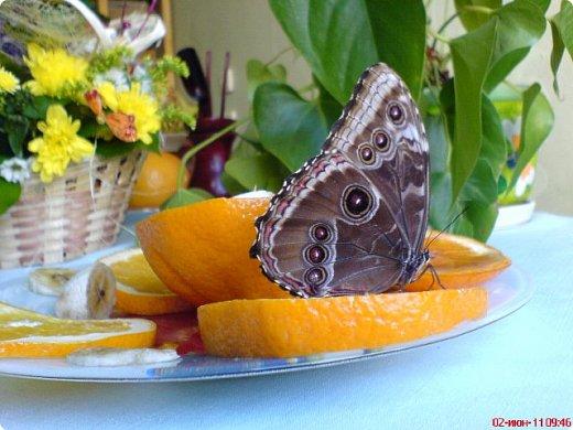 Продолжаю свой репортаж о бабочках из сада Миндо.   Бабочка Калиго - первая красавица, прибывшая в дом из сада (фото 2011года).   На кухонном столе корзина с живыми цветами и комнатный цветок - идеальные условия для домашней бабочки. фото 1