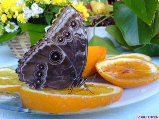 Продолжаю свой репортаж о бабочках из сада Миндо.   Бабочка Калиго - первая красавица, прибывшая в дом из сада (фото 2011года).   На кухонном столе корзина с живыми цветами и комнатный цветок - идеальные условия для домашней бабочки. фото 25
