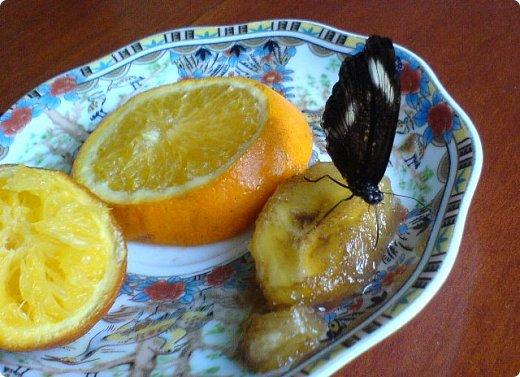 Продолжаю свой репортаж о бабочках из сада Миндо.   Бабочка Калиго - первая красавица, прибывшая в дом из сада (фото 2011года).   На кухонном столе корзина с живыми цветами и комнатный цветок - идеальные условия для домашней бабочки. фото 5