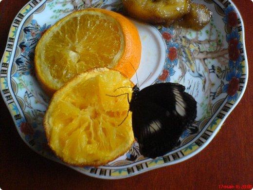 Продолжаю свой репортаж о бабочках из сада Миндо.   Бабочка Калиго - первая красавица, прибывшая в дом из сада (фото 2011года).   На кухонном столе корзина с живыми цветами и комнатный цветок - идеальные условия для домашней бабочки. фото 6
