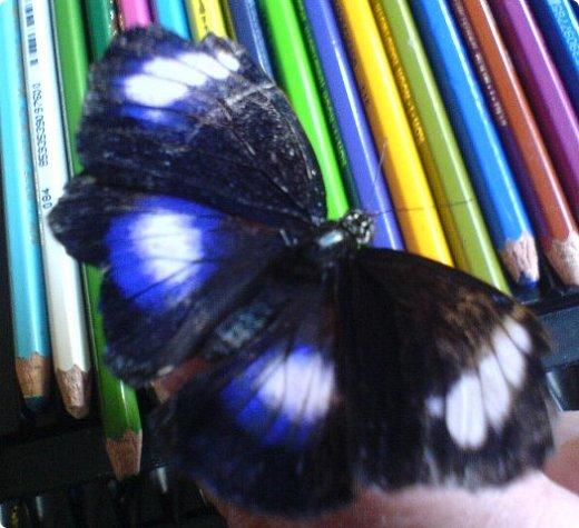 Продолжаю свой репортаж о бабочках из сада Миндо.   Бабочка Калиго - первая красавица, прибывшая в дом из сада (фото 2011года).   На кухонном столе корзина с живыми цветами и комнатный цветок - идеальные условия для домашней бабочки. фото 8