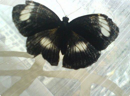 Продолжаю свой репортаж о бабочках из сада Миндо.   Бабочка Калиго - первая красавица, прибывшая в дом из сада (фото 2011года).   На кухонном столе корзина с живыми цветами и комнатный цветок - идеальные условия для домашней бабочки. фото 9