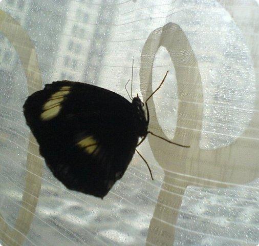 Продолжаю свой репортаж о бабочках из сада Миндо.   Бабочка Калиго - первая красавица, прибывшая в дом из сада (фото 2011года).   На кухонном столе корзина с живыми цветами и комнатный цветок - идеальные условия для домашней бабочки. фото 10