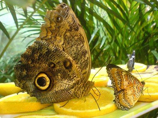 Есть в Санкт-Петербурге сады Миндо – маленькие островки счастья, где рождаются и живут тропические бабочки. Мне посчастливилось бывать несколько раз в этих экзотических местах. Представляю наиболее удачные фотографии виденных бабочек. фото 8