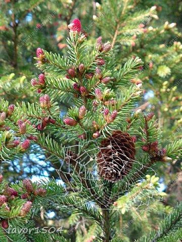 Этот кадр я уже показывала и рассказывала  http://stranamasterov.ru/node/1027229 о цветущей елке ... и вот через две недели опять сфотографировала и вот что стало... фото 1