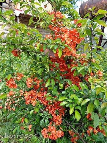 Этот кадр я уже показывала и рассказывала  http://stranamasterov.ru/node/1027229 о цветущей елке ... и вот через две недели опять сфотографировала и вот что стало... фото 7