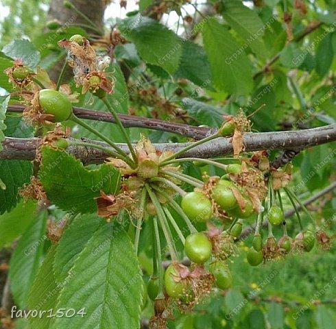Этот кадр я уже показывала и рассказывала  http://stranamasterov.ru/node/1027229 о цветущей елке ... и вот через две недели опять сфотографировала и вот что стало... фото 10