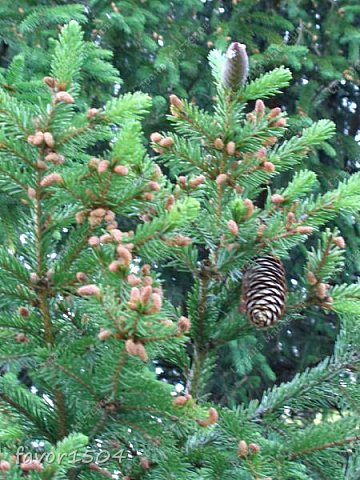 Этот кадр я уже показывала и рассказывала  http://stranamasterov.ru/node/1027229 о цветущей елке ... и вот через две недели опять сфотографировала и вот что стало... фото 3