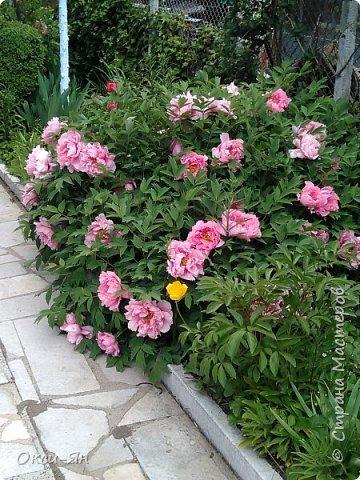 Здравствуйте всем!хочу похвастаться своими растениями.Я много лет оформляла двор в английском стиле,Т.Е. многолетние растения и всегда что-то цветет.И ,сейчас,мне очень нравиться фото 17