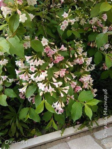 Здравствуйте всем!хочу похвастаться своими растениями.Я много лет оформляла двор в английском стиле,Т.Е. многолетние растения и всегда что-то цветет.И ,сейчас,мне очень нравиться фото 18