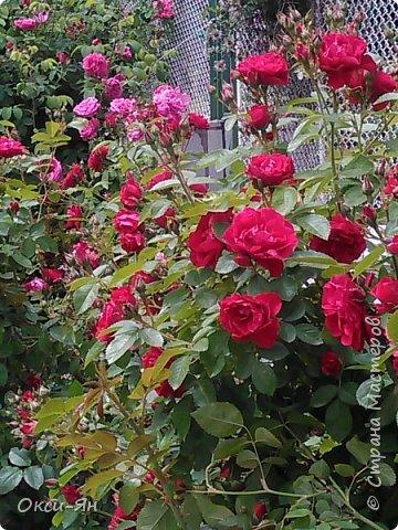 Здравствуйте всем!хочу похвастаться своими растениями.Я много лет оформляла двор в английском стиле,Т.Е. многолетние растения и всегда что-то цветет.И ,сейчас,мне очень нравиться фото 2