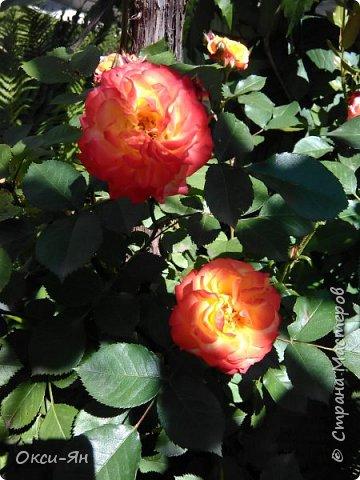 Здравствуйте всем!хочу похвастаться своими растениями.Я много лет оформляла двор в английском стиле,Т.Е. многолетние растения и всегда что-то цветет.И ,сейчас,мне очень нравиться фото 12