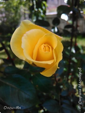 Здравствуйте всем!хочу похвастаться своими растениями.Я много лет оформляла двор в английском стиле,Т.Е. многолетние растения и всегда что-то цветет.И ,сейчас,мне очень нравиться фото 6