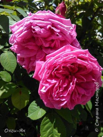 Здравствуйте всем!хочу похвастаться своими растениями.Я много лет оформляла двор в английском стиле,Т.Е. многолетние растения и всегда что-то цветет.И ,сейчас,мне очень нравиться фото 1