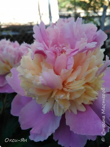 Здравствуйте всем!хочу похвастаться своими растениями.Я много лет оформляла двор в английском стиле,Т.Е. многолетние растения и всегда что-то цветет.И ,сейчас,мне очень нравиться фото 8