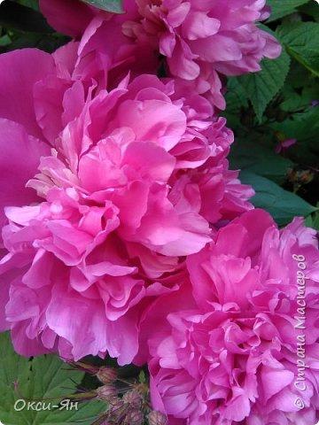 Здравствуйте всем!хочу похвастаться своими растениями.Я много лет оформляла двор в английском стиле,Т.Е. многолетние растения и всегда что-то цветет.И ,сейчас,мне очень нравиться фото 10