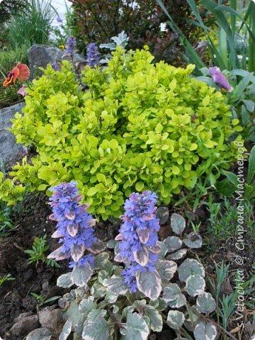 Столько изменений в саду и цветниках! Только успевай фотографировать!  Хочу показать, что успела запечатлеть в течении недели.  Прошло время бурного цветения луковичных и мелколуковичных первоцветов. Им на смену пришли другие цветы.  На переднем плане- цветет живучка. Не передался красивый сиреневый цвет. Цветы почему-то получились голубыми. За живучкой-кустик барбариса. Высота не больше 20 см. фото 1