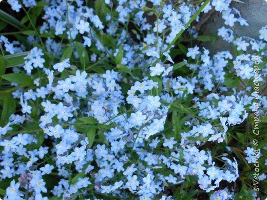 Столько изменений в саду и цветниках! Только успевай фотографировать!  Хочу показать, что успела запечатлеть в течении недели.  Прошло время бурного цветения луковичных и мелколуковичных первоцветов. Им на смену пришли другие цветы.  На переднем плане- цветет живучка. Не передался красивый сиреневый цвет. Цветы почему-то получились голубыми. За живучкой-кустик барбариса. Высота не больше 20 см. фото 6