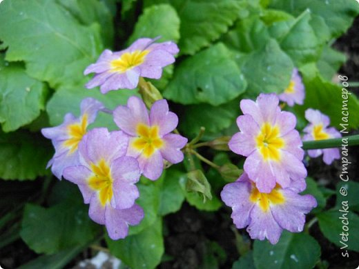 Столько изменений в саду и цветниках! Только успевай фотографировать!  Хочу показать, что успела запечатлеть в течении недели.  Прошло время бурного цветения луковичных и мелколуковичных первоцветов. Им на смену пришли другие цветы.  На переднем плане- цветет живучка. Не передался красивый сиреневый цвет. Цветы почему-то получились голубыми. За живучкой-кустик барбариса. Высота не больше 20 см. фото 21