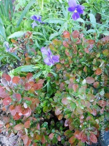 Столько изменений в саду и цветниках! Только успевай фотографировать!  Хочу показать, что успела запечатлеть в течении недели.  Прошло время бурного цветения луковичных и мелколуковичных первоцветов. Им на смену пришли другие цветы.  На переднем плане- цветет живучка. Не передался красивый сиреневый цвет. Цветы почему-то получились голубыми. За живучкой-кустик барбариса. Высота не больше 20 см. фото 24