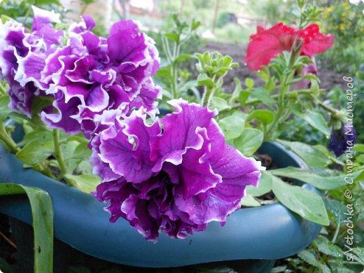 Столько изменений в саду и цветниках! Только успевай фотографировать!  Хочу показать, что успела запечатлеть в течении недели.  Прошло время бурного цветения луковичных и мелколуковичных первоцветов. Им на смену пришли другие цветы.  На переднем плане- цветет живучка. Не передался красивый сиреневый цвет. Цветы почему-то получились голубыми. За живучкой-кустик барбариса. Высота не больше 20 см. фото 29